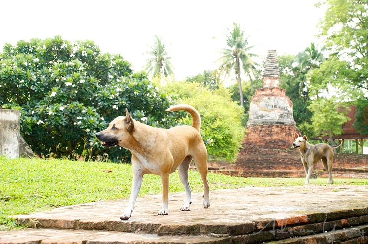 Stray dogs wandering around the ancient ruins in Ayutthaya.