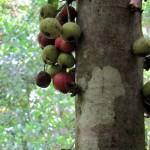 kohra-figtree