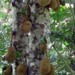 kohra-jackfruit