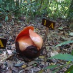 Rafflesia blooming - photo by Jungleman Khao Sok